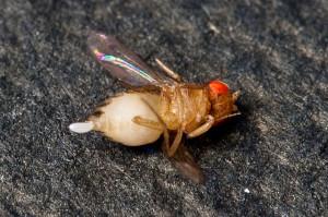 Fruchtfliegen loswerden: Nur eine tote Fruchtfliege ich eine gute Fruchtfliege!?