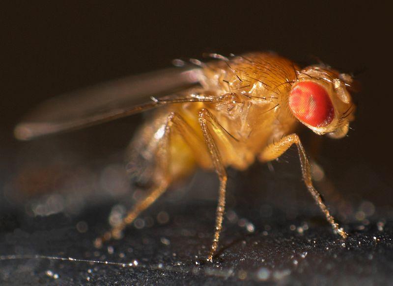 Fruchtfliegen Lebensdauer: Das Aussehen einer Fruchtfliege