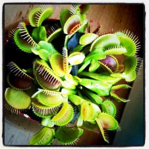 Die Venusfliegenfalle ist Ihr natürlicher Verbündeter beim Fruchtfliegen fangen.