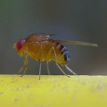 Die Fruchtfliege (Drosophila melanogaster)