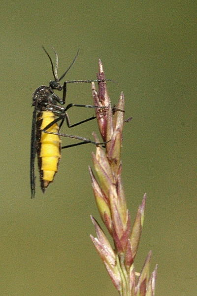 Trauermücken Aussehen Lebensraum Fortpflanzung Und Schadwirkung