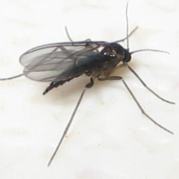 Trauermücken bekämpfen: Eine weibliche Trauermücke