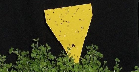 Trauermücken auf einem Gelbsticker
