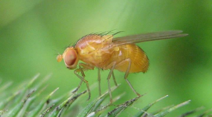 Drosophila Melanogaster im Wald